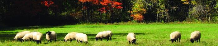 pca-sheep-1