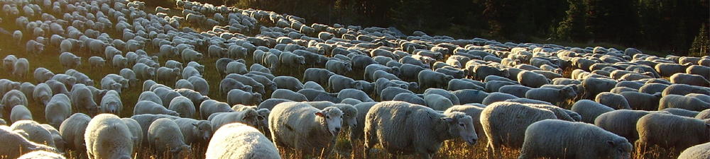 white-face-sheep-mountains